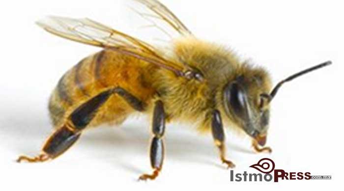 Ataque de abejas en San Blas Atempa deja dos heridos