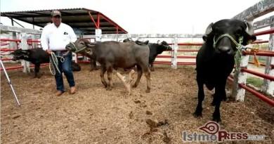 Crianza de búfalos de agua alternativa ganadera en el istmo