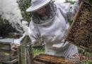 En riesgo la apicultura por pesticidas y cambio climático en el Istmo de Tehuantepec