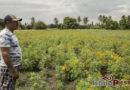 En riesgo la producción de flor de muerto en el Istmo de Tehuantepec
