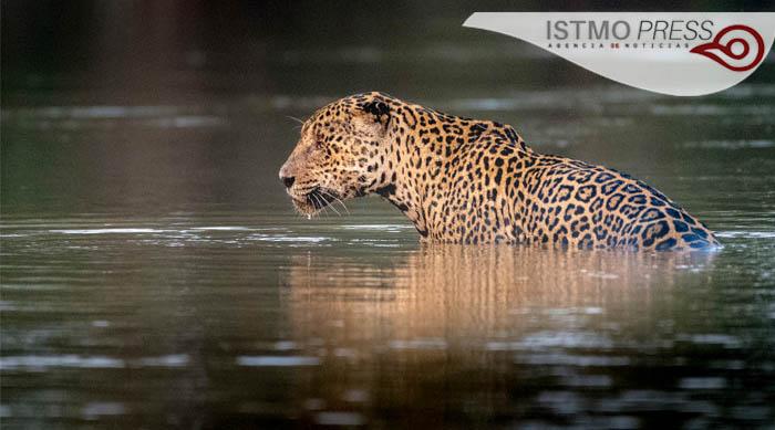 03 vida silvestre jaguar portada