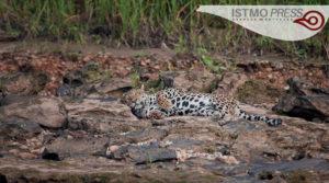 03 vida silvestre jaguar1