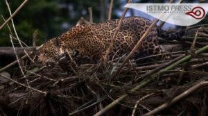 03 vida silvestre jaguar2