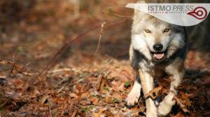 03 vida silvestre lobo