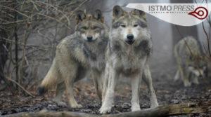 03 vida silvestre lobos