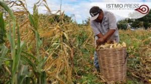 04 Jun Juchitán apoyo de maíz1
