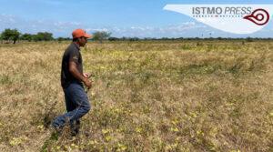 Cultivos de camote en riesgo