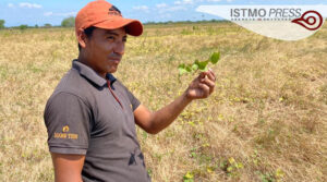 Cultivos de camote en riesgo2